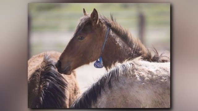 U.S. Gov't: We do not 'and will not euthanize' wild horses | 11alive.com