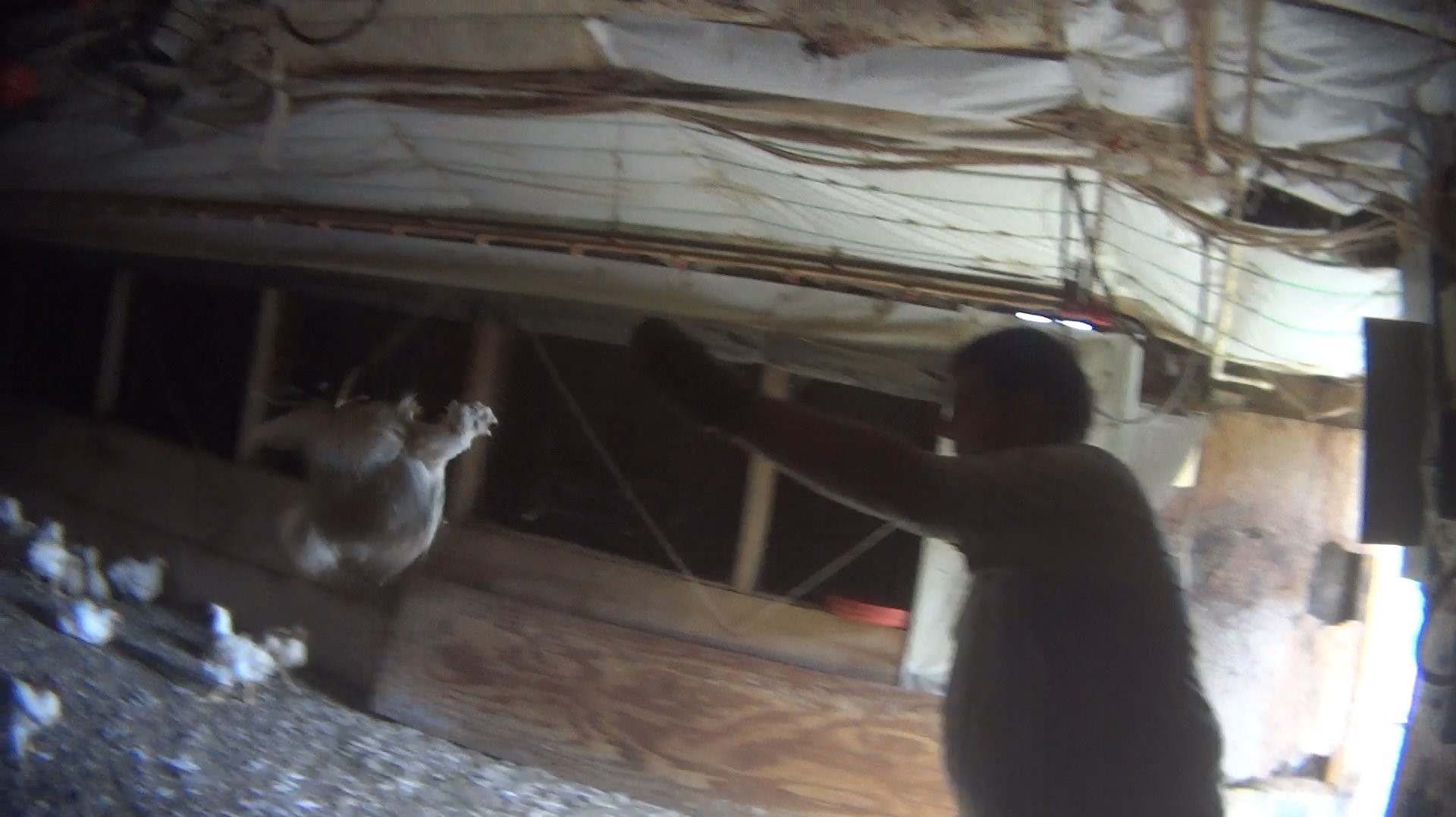 Undercover video shows alleged abuse at local chicken farm ...